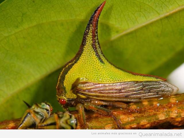 Animales raros umbonia spinosa