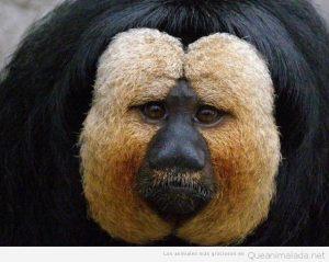 Animales raros mono Saki
