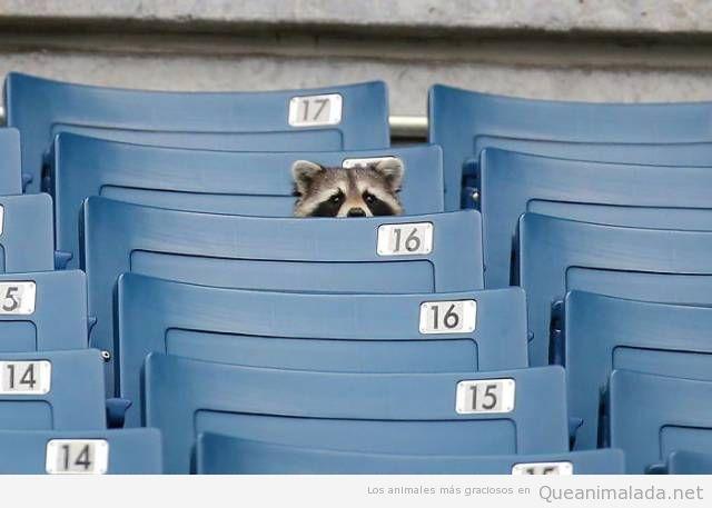 Fotos graciosas de mapaches