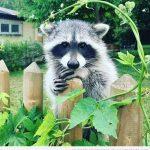 10 fotos graciosas de mapaches haciendo de las suyas
