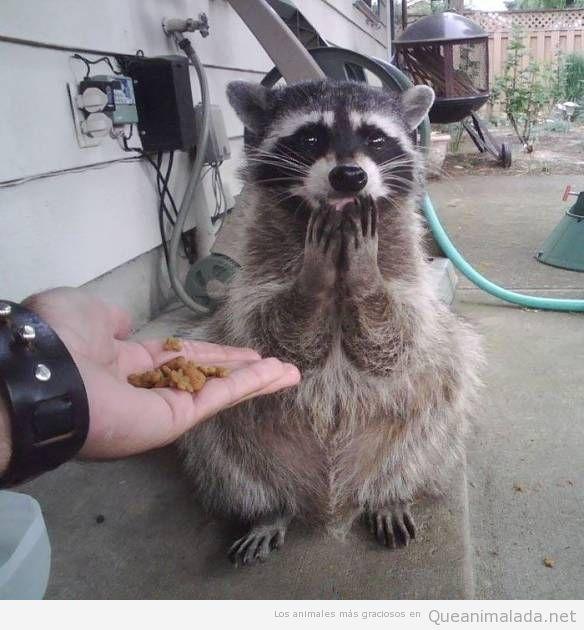 Fotos graciosas de mapaches 2