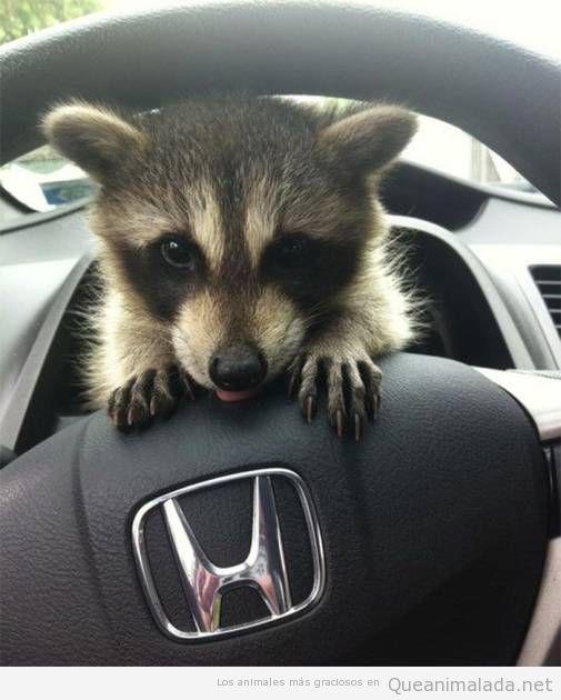 Fotos graciosas de mapaches 4