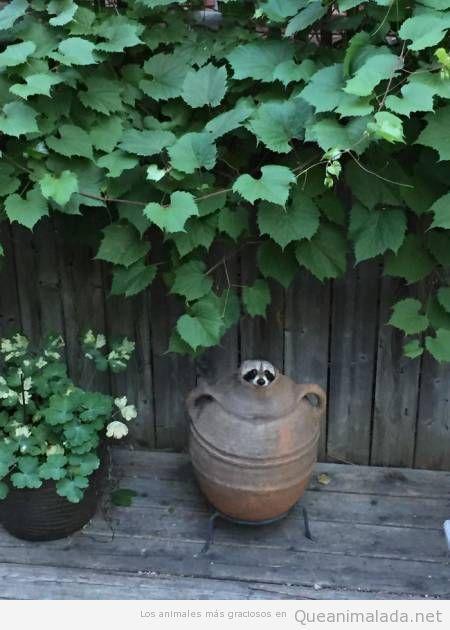 Fotos graciosas de mapaches 5