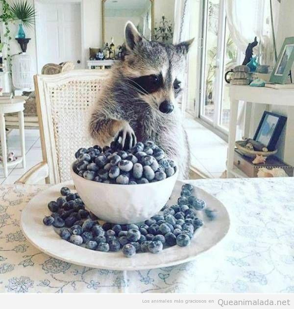 Fotos graciosas de mapaches 6