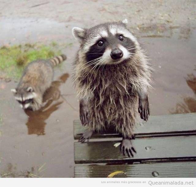 Fotos graciosas de mapaches 8