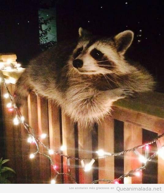 Fotos graciosas de mapaches 9