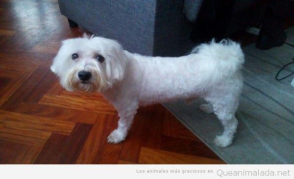 Centros caninos especializados en Bichón Maltés Americano
