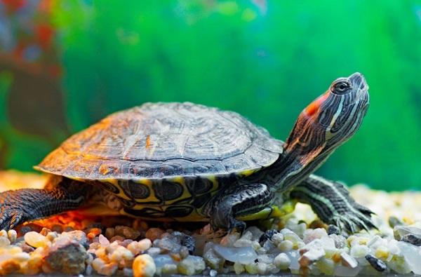 Cuánto vive una tortuga doméstica