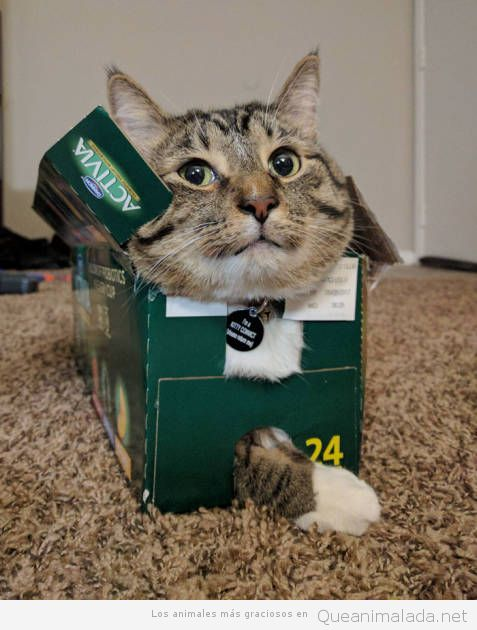 Fotos graciosas gatos metidos en sitios 5