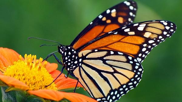 Animales invertebrados, mariposa
