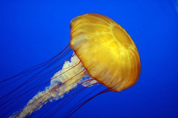 Animales invertebrados, medusa