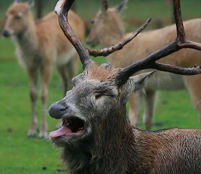Foto graciosa de un ciervo canadiense poco fotogénico