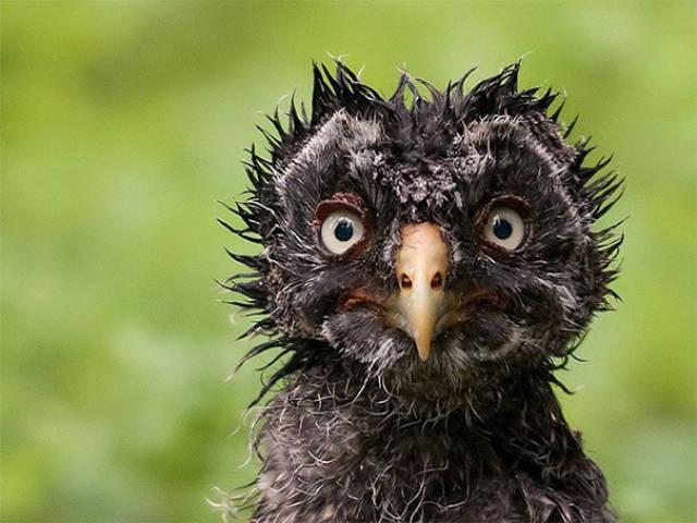 Foto graciosa de un polluelo poco fotogénico