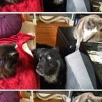 La imposible relación entre un gato y un limón