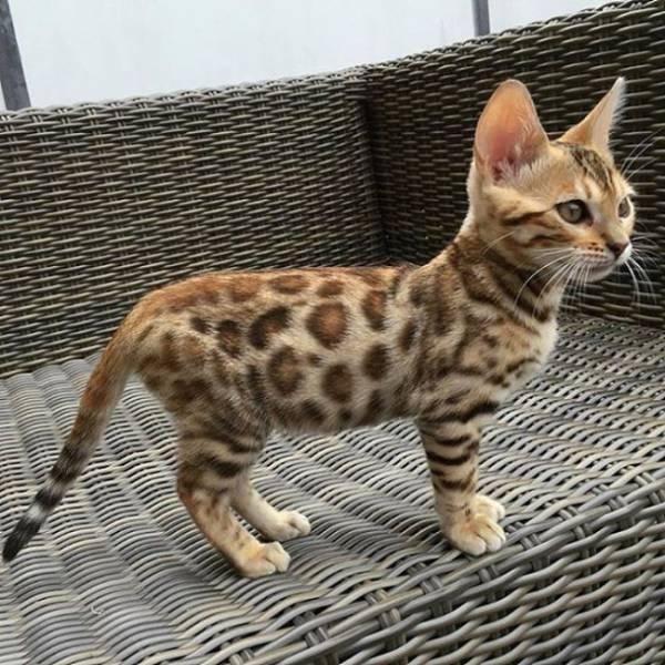 Animales raros, gato leopardo