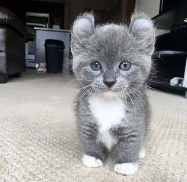 Animales raros, gato con orejas redondas