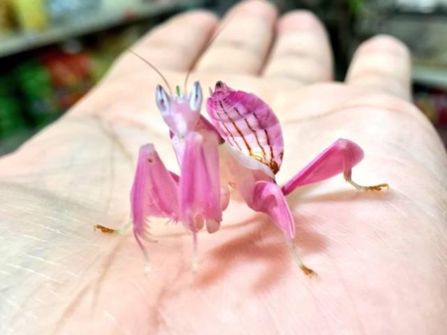 Animales raros, Mantis orquídea