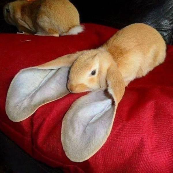 Animales raros, conejo con orejas largas