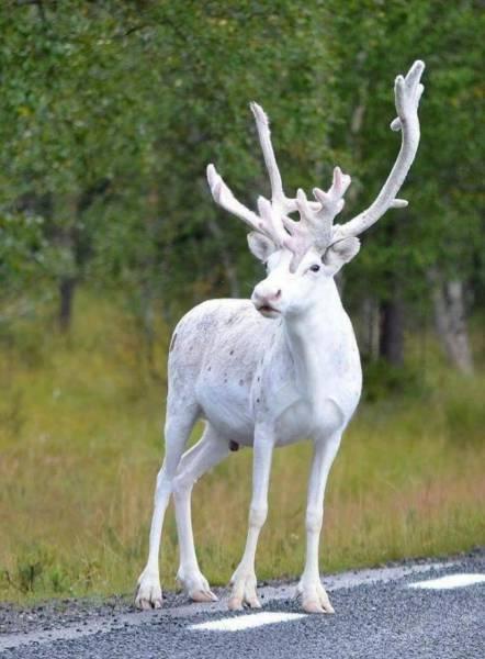 Animales raros, reno blanco sueco