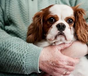 Mejores razas de perro para personas mayores, Cavalier