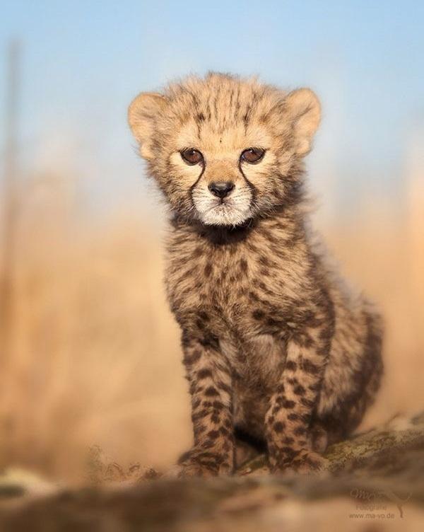 Leopardo bebé