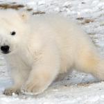 Vídeo ternérrimo del día: una osa polar echa una mano a su cría