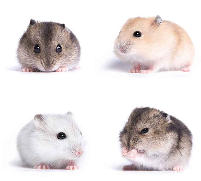 Las diferentes razas de hamster