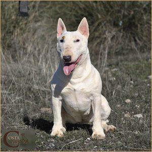 Bull Terrier Mini blanco