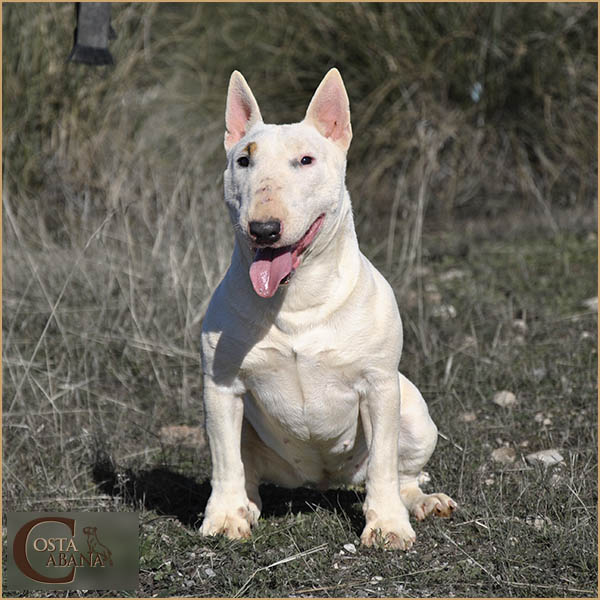 Bull Terrier Mini blanco
