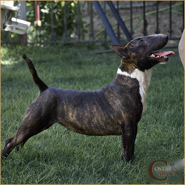 Bull Terrier Mini atigrado