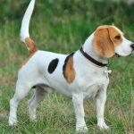 Conoces las principales razas de perros medianos?
