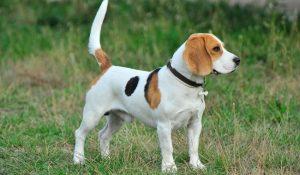 Perros raza mediana beagle