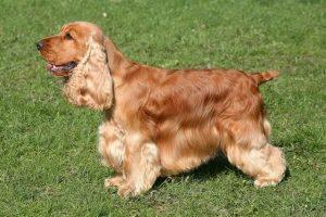 Perros raza mediana cocker