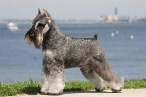Perros raza mediana Schnauzer