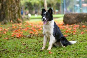 Perros raza mediana border collie