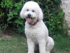 Perros raza mediana caniche