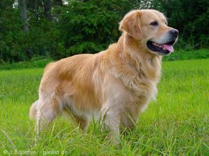 Perros raza mediana golden retriever