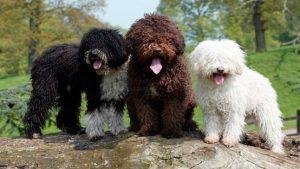 Perros raza mediana perro de agua