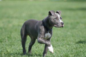 Perros raza mediana pitbull