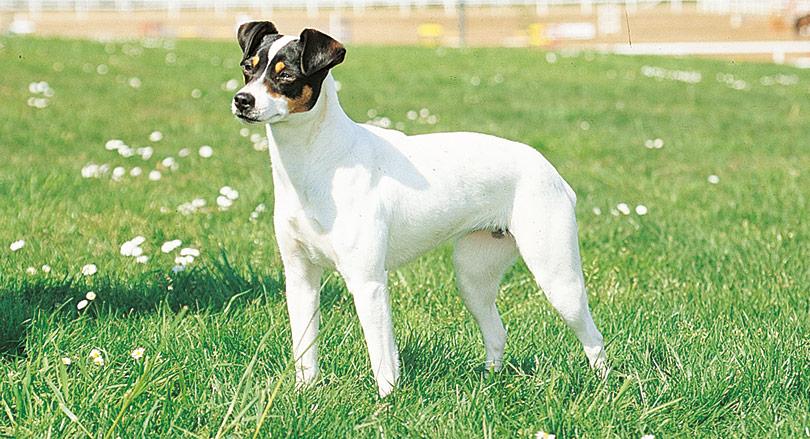 Perros raza mediana bodeguero andaluz