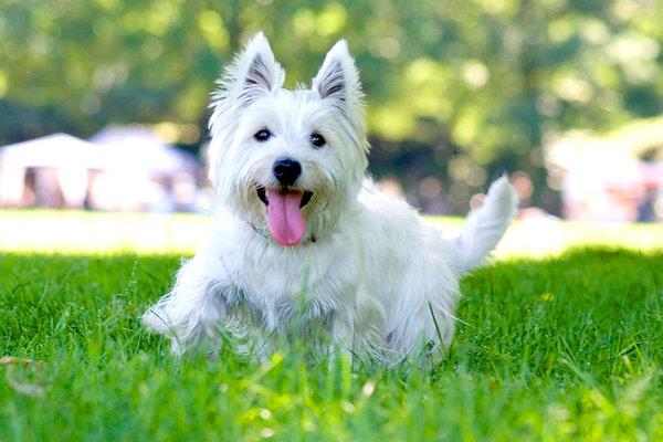 Perros raza mediana Westie