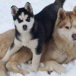 El Husky Siberiano: lo que tienes que saber acerca de la raza