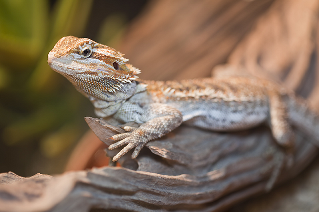 Dragón barbudo mascota