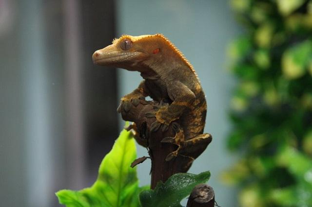 Gecko crestado mascota