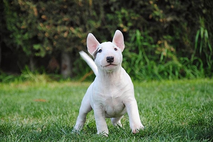 ¿Cuánto cuesta un Bull terrier miniatura?