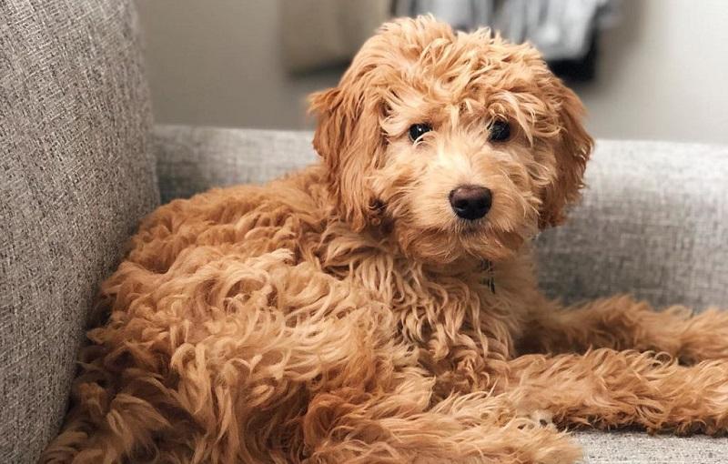Los 5 Cruces de Caniche (Poodle) Más Populares del Mundo