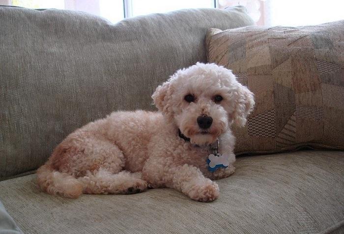 Perros para pisos, Bichón Frisé en un sofá