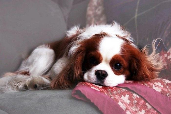Perros para pisos, Cavalier King Charles en un sofá