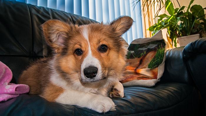 Perros para pisos, Corgi en un sofá