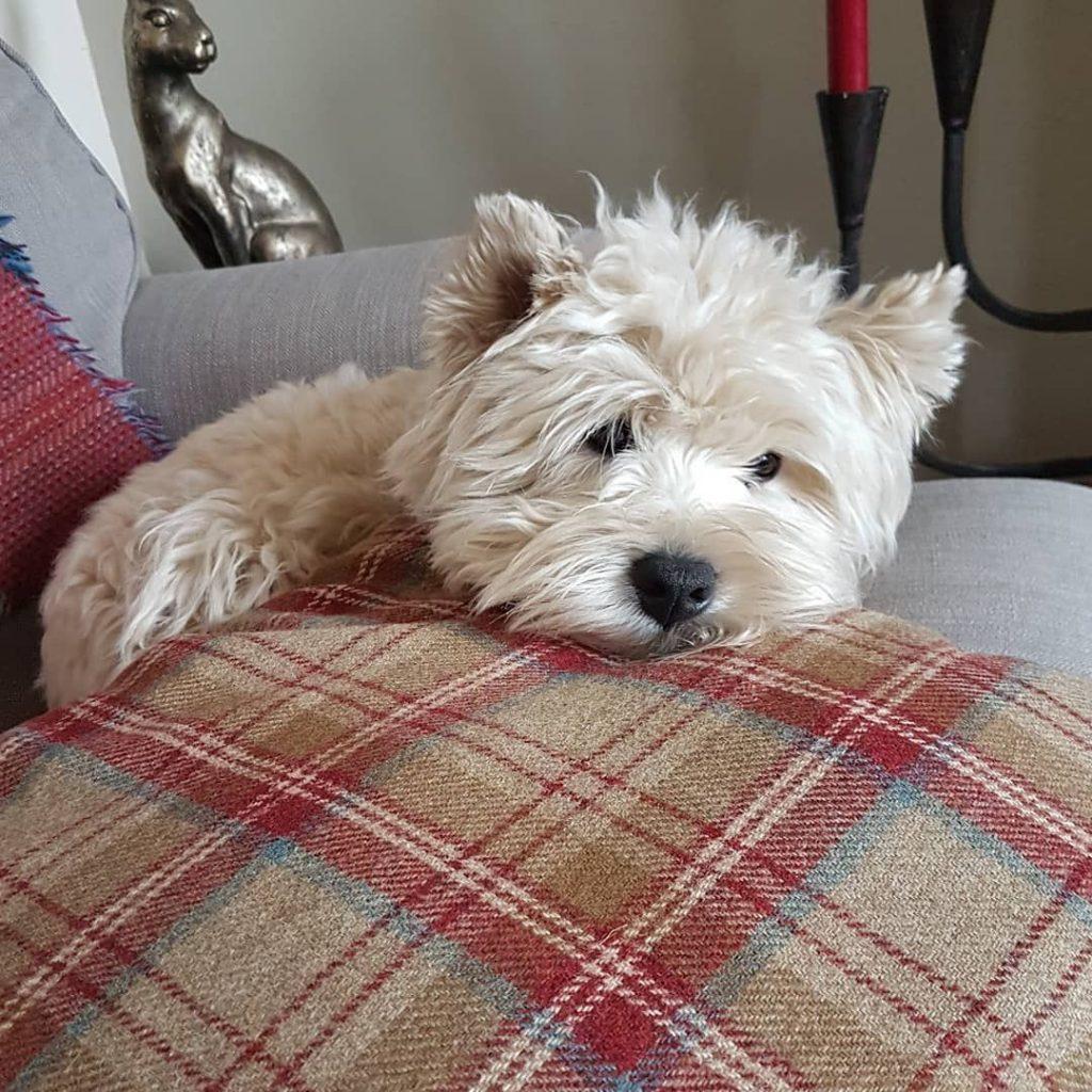 Perros para pisos, Westie en un sofá